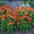 Sombrero® Adobe Orange Coneflower foliage and flowers
