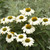 Color Coded™ The Price is White Coneflower Flowers and foliage