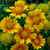 Arizona Apricot Blanket Flower Blooms and Flower Buds
