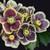 Honeymoon® Rio Carnival Lenten Rose Flower Blooms