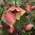 Honeymoon® Sandy Shores Lenten Rose Flowers and leaves