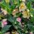 Honeymoon® Tropical Sunset Lenten Rose Flowers And Leaves