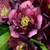 Wedding Party® True Love Lenten Rose Flowers Blooms