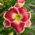 Born to Run Daylily Flower Close Up
