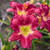 Happy Ever Appster™ Romantic Returns Daylily Flower Close Up