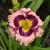 Rainbow Rhythm® Sound of My Heart Daylily Flower Close Up