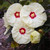 Summerific® French Vanilla Hibiscus Flowers Close Up