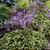 Wrinkle in Time Hosta plants blooming