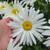 Holding Spoonful of Sugar Shasta Daisy Flowers