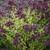 Drops of Jupiter Ornamental Oregano Plant Flowering