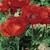 Beauty of Livermere Oriental Poppy Flowers