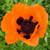 Bright Prince of Orange Oriental Poppy Flower With Dark Center