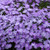 Bedazzled Lavender Phlox Flowers Close Up