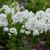 David Phlox Plants Flowering in the Sunlight