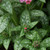 Pretty in Pink Lungwort Leaves Foliage
