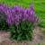 Tall Color Spires® Back to the Fuchsia Salvia Plant Flowering Leaves