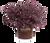 Purple Daydream Loropetalum in Branded Pot