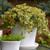 Rock 'N Low Boogie Woogie Stonecrop Sedum in Patio Tabletop Planter