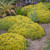 Rock 'N Low Yellow Brick Road Stonecrop Sedum Plants Blooming in the Garden