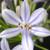 Neverland Agapanthus Flower Petals Close Up