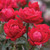 Red Double Knockout Rose Blooms Up Close