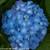 Let's Dance Blue Jangles Hydrangea Flower