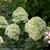Little Lime Hydrangea Foliage