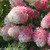 Pink and White Zinfin Doll Hydrangea Panicle Blooms