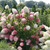 Large Zinfin Doll Hydrangea Shrub with Huge Flowers