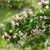 Sweet Emotion Abelia Shrub Covers in Flowers