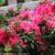 Bloom-A-Thon Hot Pink Azalea Foliage and Flowers