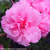 Bloom-A-Thon Pink Azalea Flower Close Up