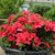 Bloom-A-Thon Red Azalea in Garden Planter