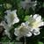 Bloom-A-Thon White Azalea Foliage and Flowers Close Up