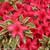 Bollywood Azalea Shrub Foliage and Flowers
