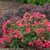 Landscaping with Oso Easy Cherry Pie Rose
