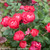 Oso Easy Double Red Rose Flowers and Leaves