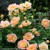 Oso Easy Peachy Cream Rose Floliage and Flowers