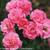 Livin' La Vida Rose Shrub Blooming
