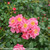 Oso Easy Double Pink Rose Flowers and Foliage