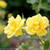 Bright Oso Easy Lemon Zest Rose Flowers in the Sunlight