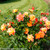 Sunsay Rose Shrub Covered in Flowers