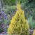 Fluffy Arborvitae Shrub