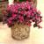 Jazz Hands Dwarf Pink Loropetalum Shrub in Garden Planter