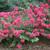 Infinitini Magenta Crape Myrtle Shrub Flowering