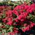 Infinitini Watermelon Crape Myrtle Foliage and Flowers