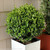 Manicured Sprinter Boxwood in Square Garden Container