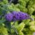 Lo and Behold Purple Haze Butterfly Bush Bloom