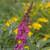 Pink Miss Ruby Butterfly Bush Flower