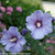 2 Azurri Blue Satin Rose of Sharon Flowers